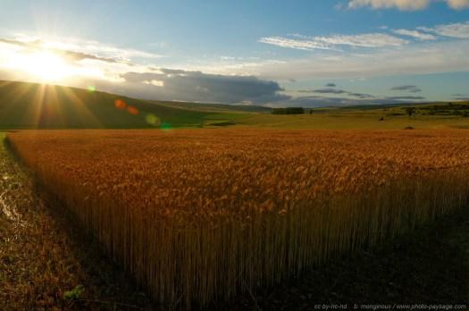 Coucher de soleil au-dessus d'un champs de blé sur le Causse Méjean (Lozère)