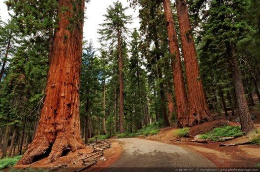 Une route passant entre deux séquoias géants de Mariposa Grove.  Parc National de Yosemite, Californie, USA