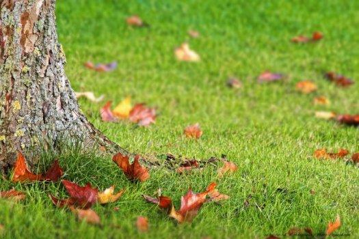 Quelques feuilles mortes éparpillées sur l'herbe au pied d'un platane.