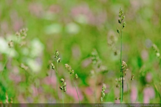 Flore alpine, pays des Ecrins