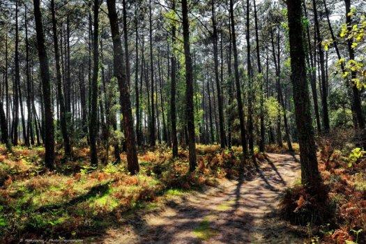 Un des sentiers de randonnées au sein de la réserve naturelle du courant d'Huchet : chemin sablonneux, fougères et pins des landes.