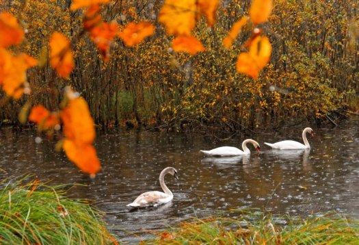 Des cygnes dans un étang sous une forte pluie d'automne