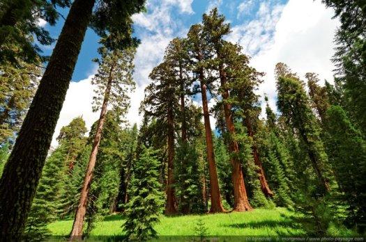 Un bosquet de séquoias géants dans Mariposa Grove. Parc National de Yosemite, Californie, USA