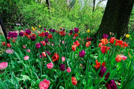 De magnifiques tulipes multicolores photographiées dans Central Park.