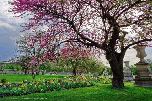 Printemps et nature urbaine dans le jardin des Tuileries à Paris : une pelouse bien verte, des tulipes multicolores, et un arbre de Judée en pleine floraison.
