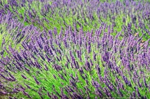 Fleurs de lavande sur le plateau de Valensole.