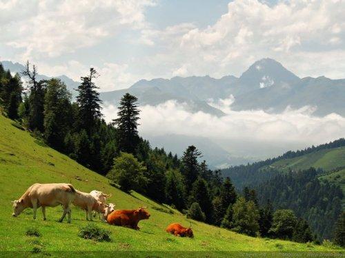 Vaches en pâturage dans les Pyrénées