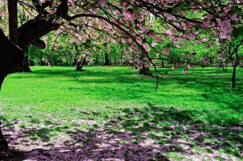 Sous un cerisier en fleurs dans Central Park