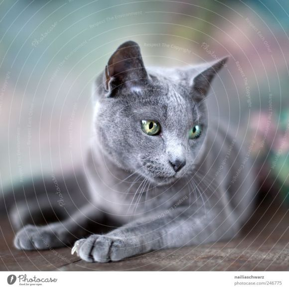 Blue Animal Cat Elegant - a Royalty Free Stock Photo from ...
