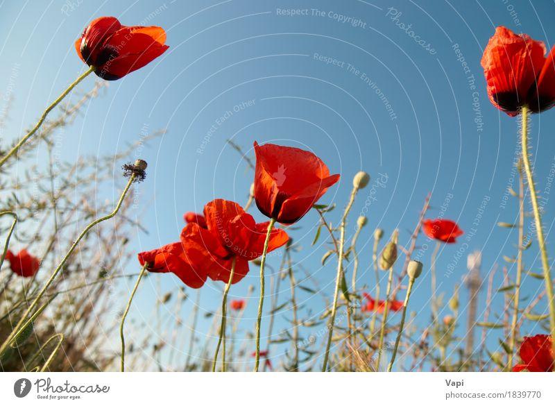 Schone Rote Mohnblumen Ein Lizenzfreies Stock Foto Von Photocase
