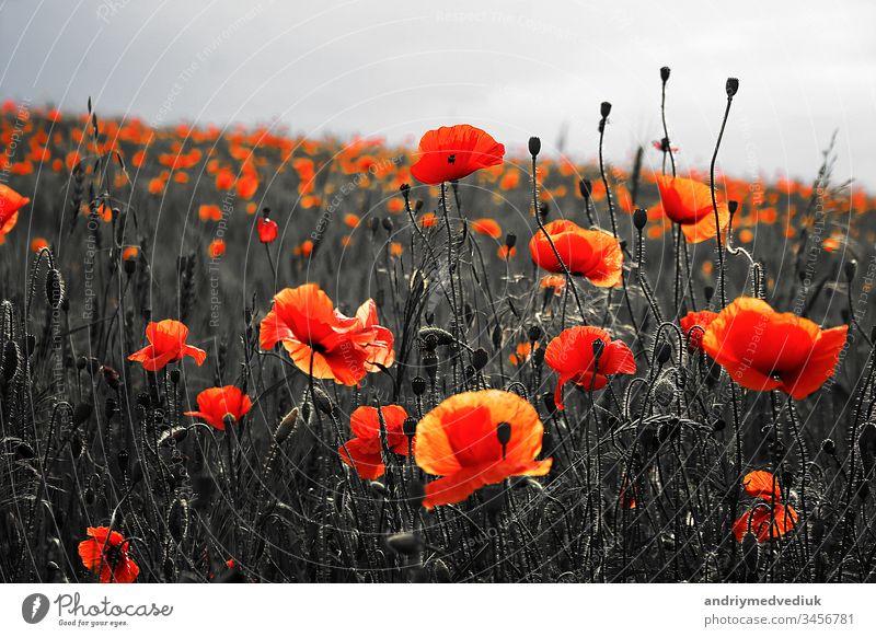 Vector Drei Rote Mohnblumen Mit Auf Einem Weissen Hintergrund