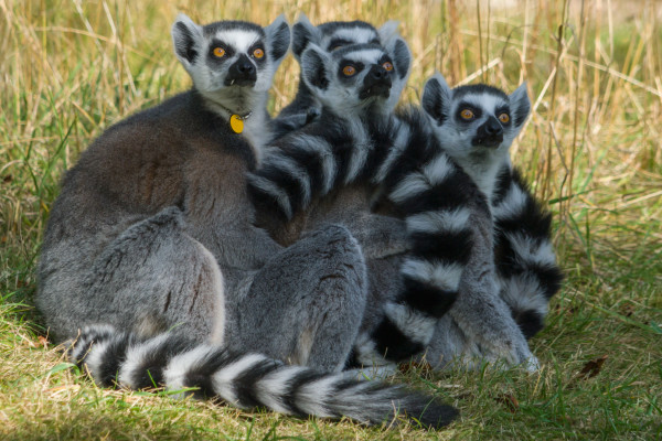 lemurs-240mmf9-iso400-crop