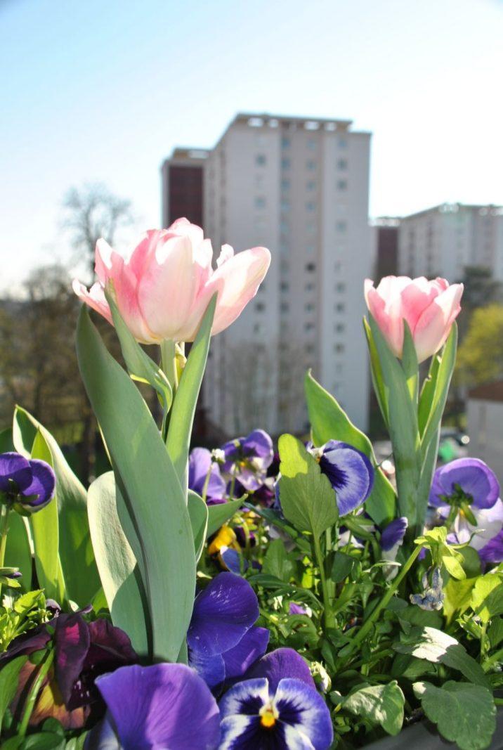 tulipes et pensées