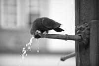 durstige taube (sw)