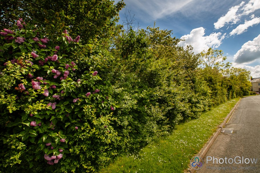 Hedgerow viewed from Campden road with flowering trees