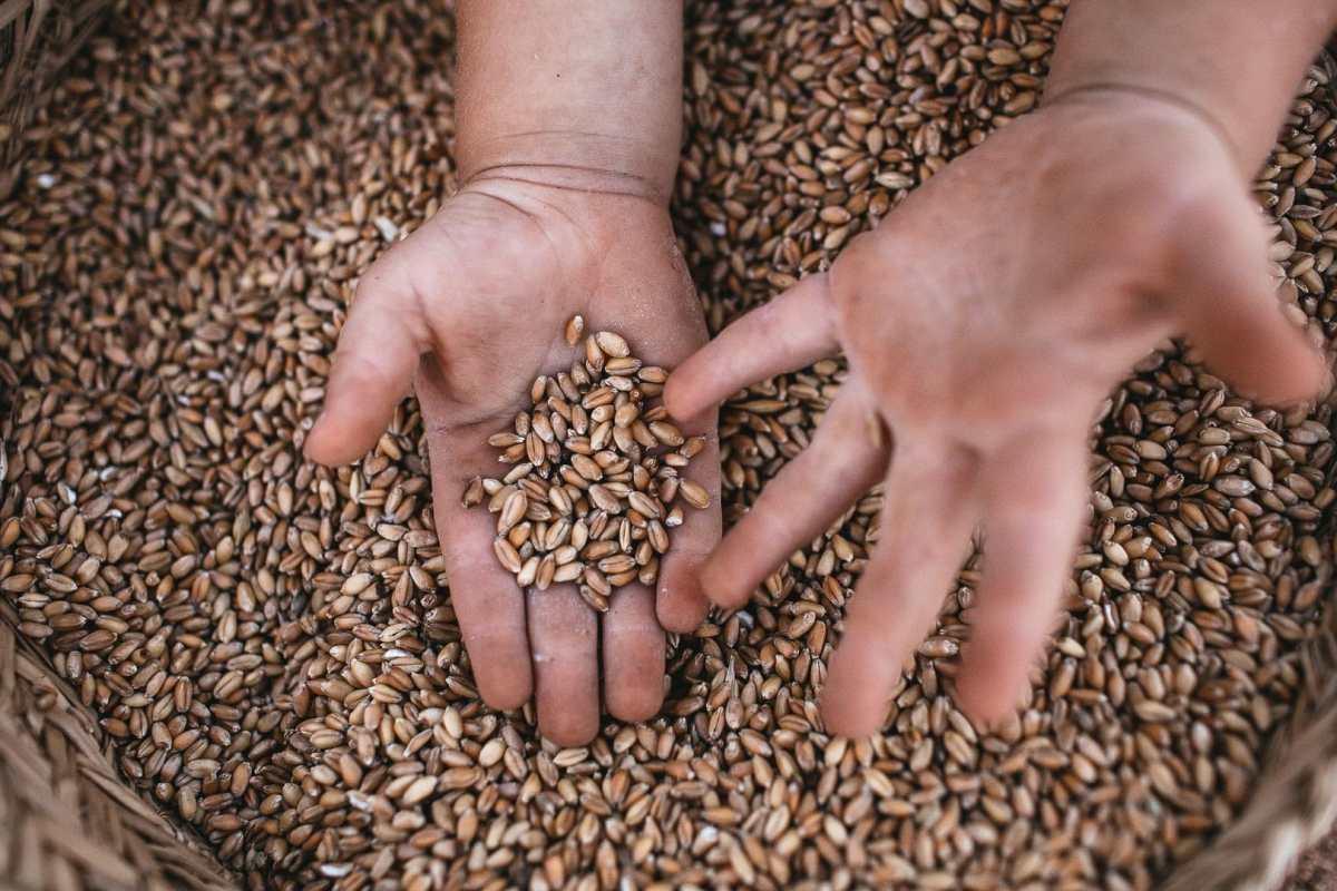 Foto de unas manos de un niño dentro de una cesta llena de semillas de trigo