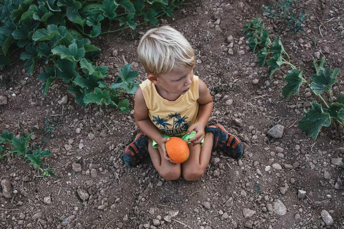 Fotografía instantanea de un niño sentado sobre el sembrado de calabaza en la huerta de Can Puvil de Ibiza