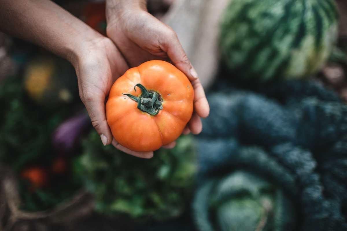 Imagen detallada de unas manos sosteniendo un tomate de la huerta de marina en Can puvil de Ibiza