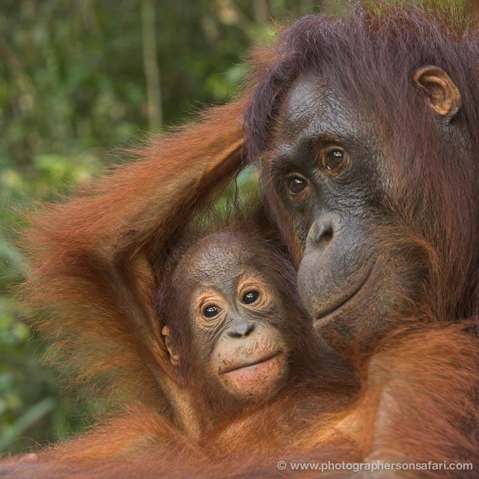 Indonesia Orangutans In Borneo Photography Tour 14 Days