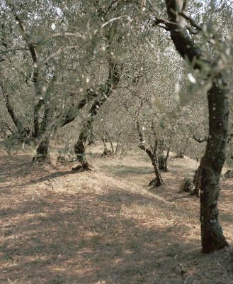 Olive Trees in Umbria
