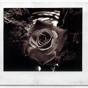 Rose-on-Stone vintage print Robert SCHILDER
