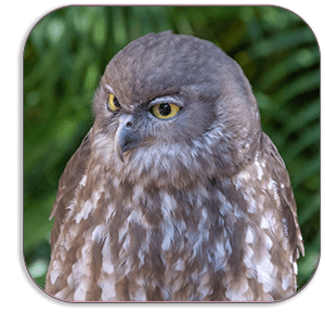 Photo Coaster - Barking Owl - Australia One of a raneg of photo coasters from Dave Mutton Photography