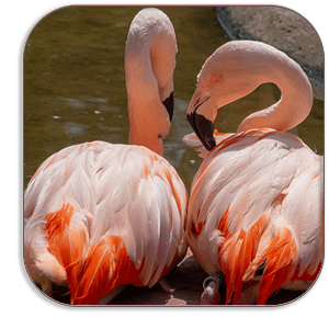 Photo Coaster - Flamingoes - Jersey Zoo - by Dave Mutton Photography