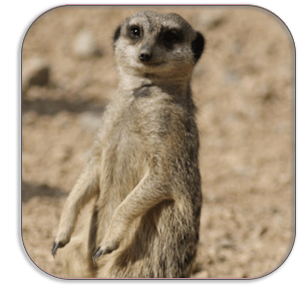 Photo Coaster - Meerkat - London Zoo - by Dave Mutton Photography