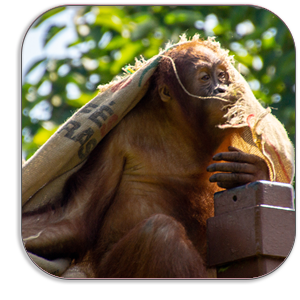 Photo Coaster - Orangutan - Jersey Zoo - by Dave Mutton Photography