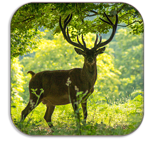 Photo Coaster - Red Deer Stag - Windsor Great Park - by Dave Mutton Photography