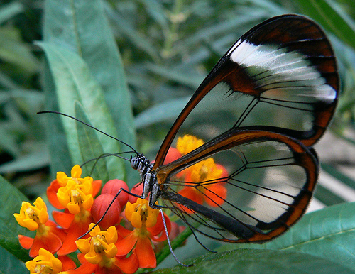 a butterfly with parts of its wings transparent sitting on a yellow and orange flower