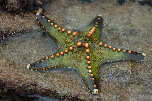 Green and Orange Starfish
