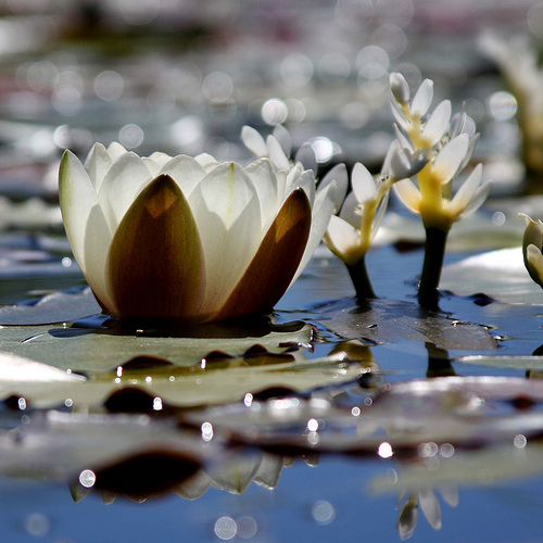 Water Lilies and Light