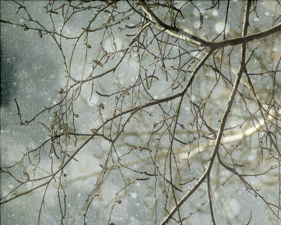 snowy branches, white birch, blue gray, winter flurries