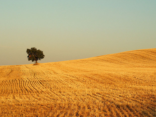 Lone tree in field illuminated with golden light