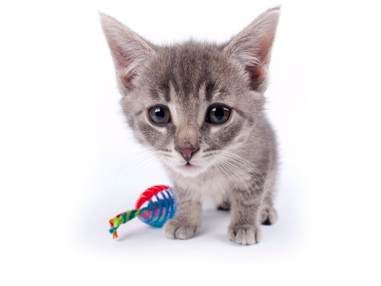 Young nine weeks old fluffy grey striped kitten over white with a cat toy