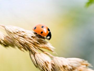 Small ladybug on wheat in the summer sun
