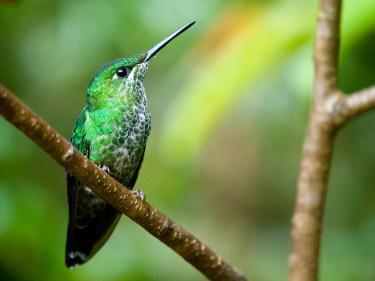 The Green-crowned Brilliant (Heliodoxa jacula) hummingbird in Costa Rica