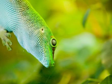 Giant day gecko (phelsuma madagascariensis grandis) sitting on glass