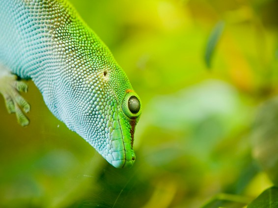 Giant day gecko (phelsuma madagascariensis grandis) sitting on glass