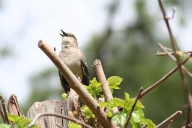 Singing Bird by Diana Birdwell
