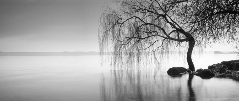 Bolsena Weeping Willow