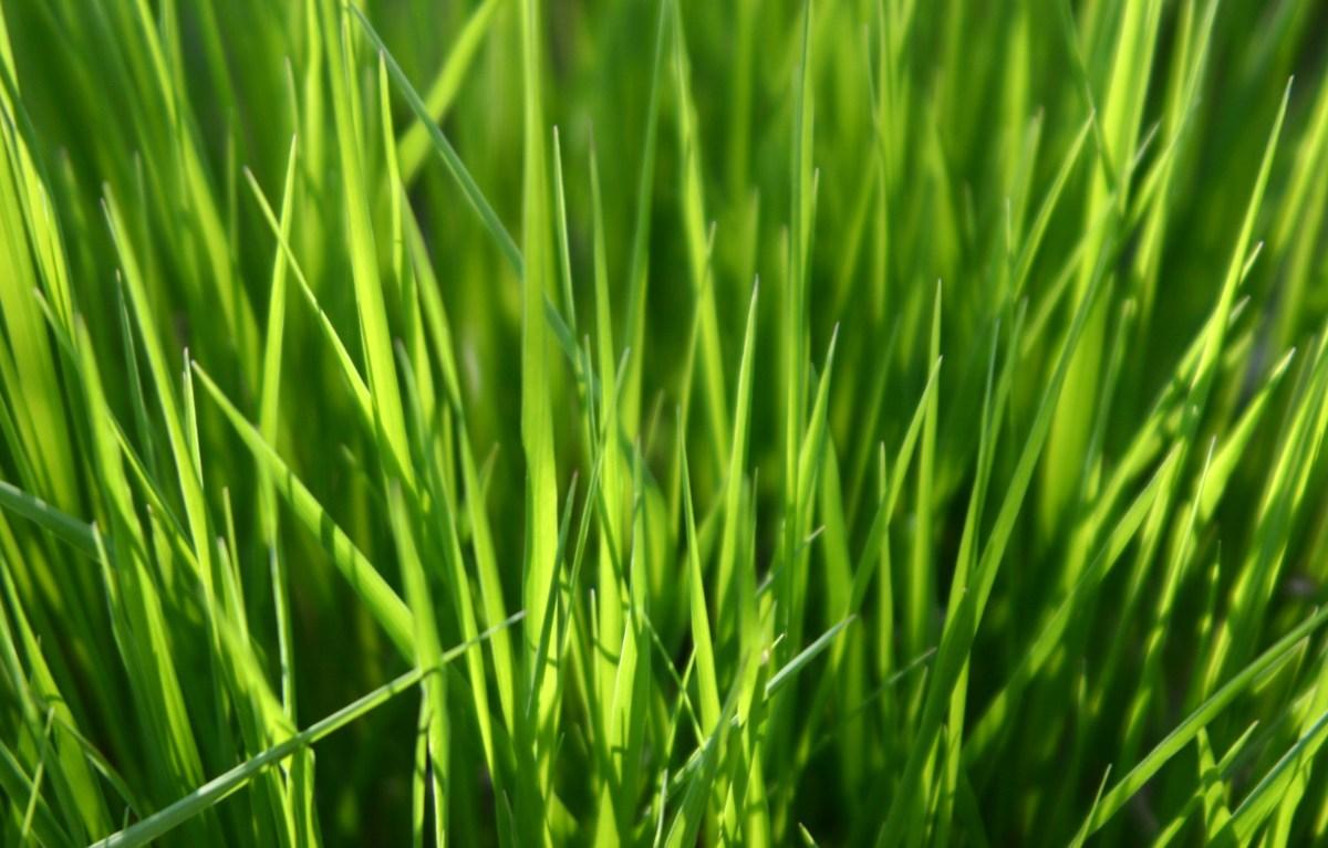 Green grass texture 1