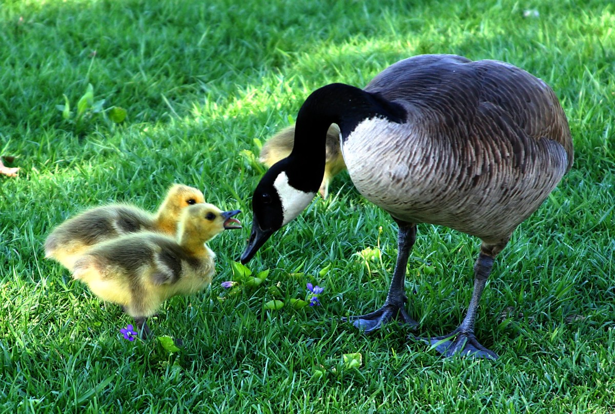 Canada goose mother and chicken