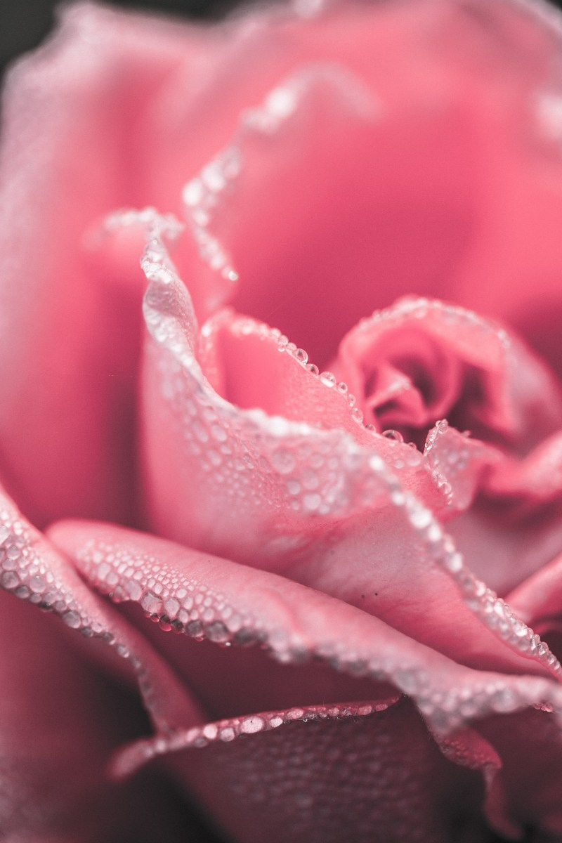 Closeup on a pink rose