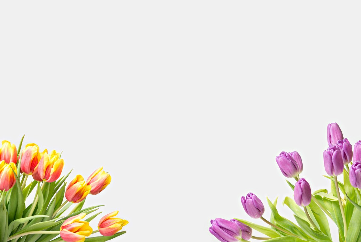 Tulips in different colors on white background copyspace