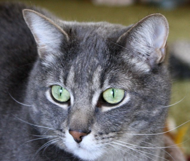 Gray Tabby Cat With Green Eyes Close Up