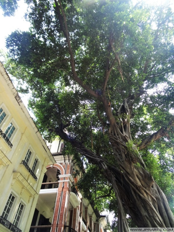 Banyan Trees and Colonial Buildings on Shamian Island in Guangzhou, China