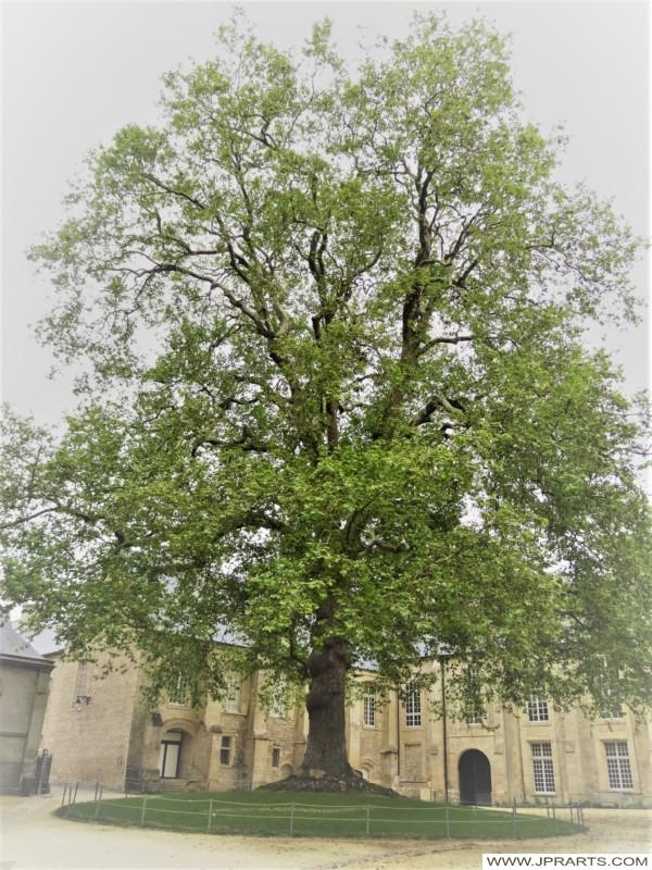 Arbre de la Liberté à Bayeux, France