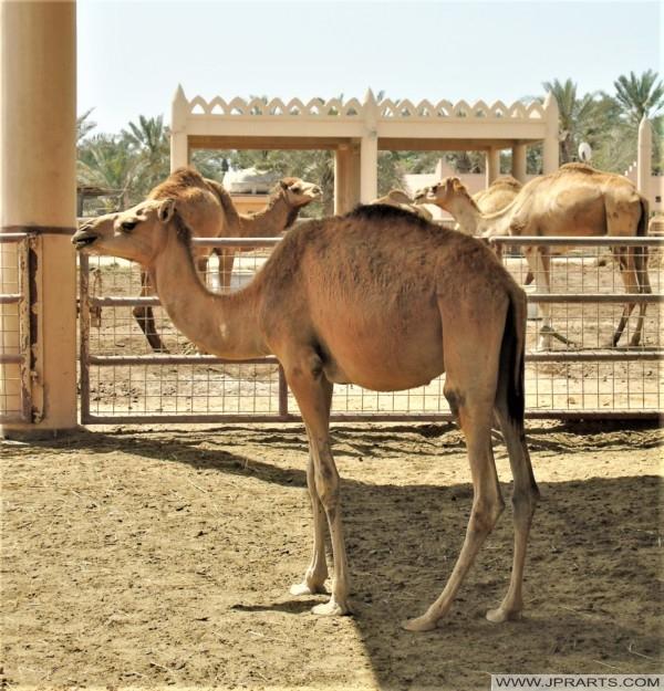 年轻的骆驼在巴林皇家骆驼农场